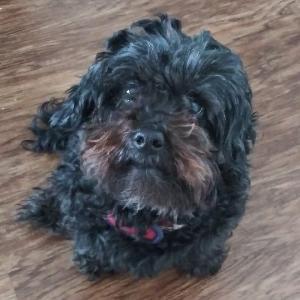 adoptable Dog in Richmond,VA named Chico