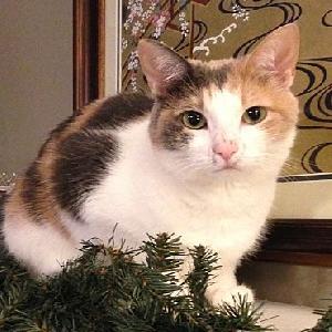 adoptable Cat in Tulsa, OK named Mia