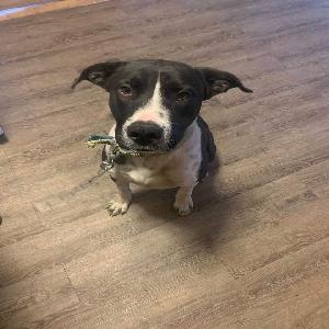adoptable Dog in Borger, TX named Haze