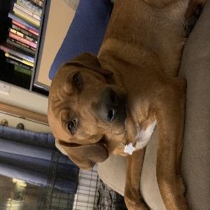adoptable Dog in Morgantown, WV named Duke