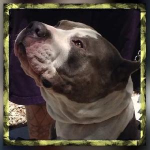 adoptable Dog in North Las Vegas, NV named Blu