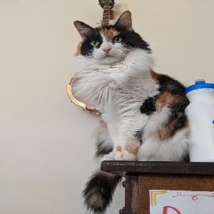 adoptable Cat in Denham Springs, LA named Hippolyta