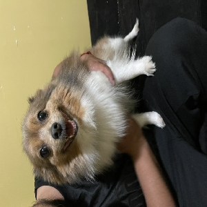 adoptable Dog in Lowell, MA named Starla