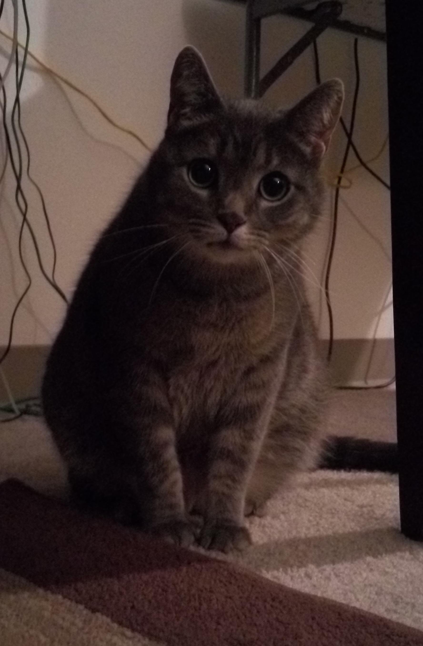 adoptable Cat in Fremont,NE named Heinrich