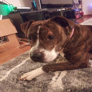 adoptable Dog in Minotola, NJ named Hazel