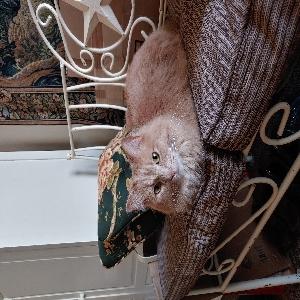 adoptable Cat in Atlantic, IA named Henrietta