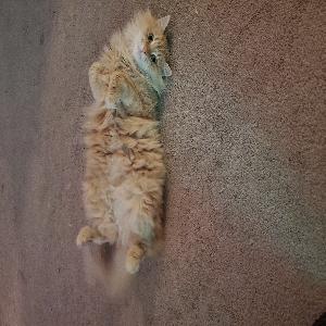 adoptable Cat in Reno, NV named Zoe
