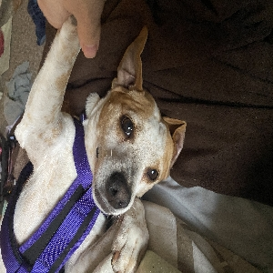 adoptable Dog in Pearl, MS named Perse