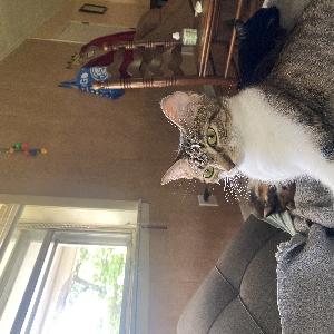 adoptable Cat in Talladega, AL named Tigie