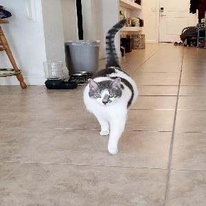 adoptable Cat in Henderson, NV named Tinker