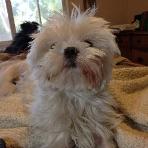 adoptable Dog in Las Vegas, NV named Joey