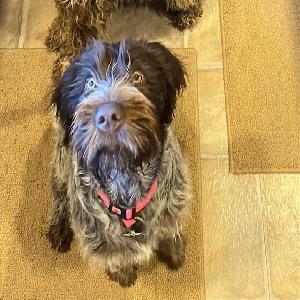 adoptable Dog in Elko, NV named Kimber