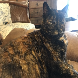 adoptable Cat in Bozeman, MT named Confetti