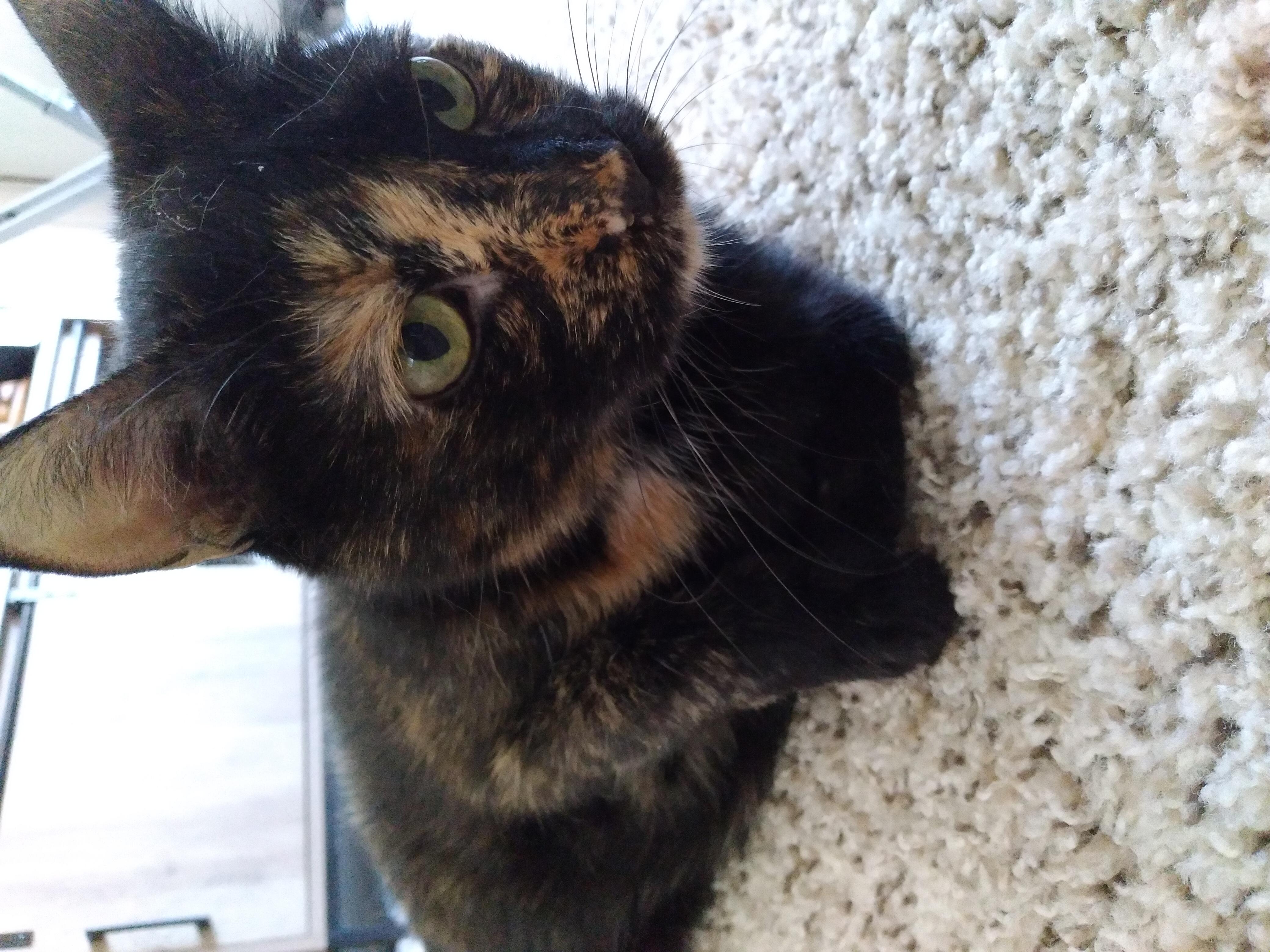 adoptable Cat in Reno,NV named Treyu