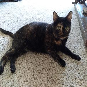 adoptable Cat in Reno, NV named Treyu