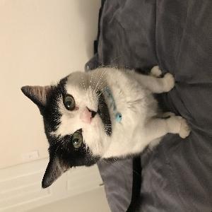 adoptable Cat in Henderson, NV named Kitten