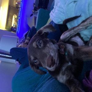 adoptable Dog in Las Vegas, NV named Bear