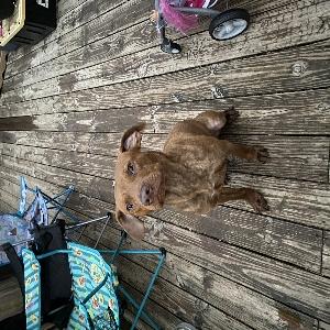 adoptable Dog in Tulsa, OK named Bear