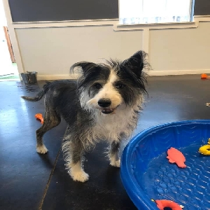 adoptable Dog in Harlem, MT named Scout
