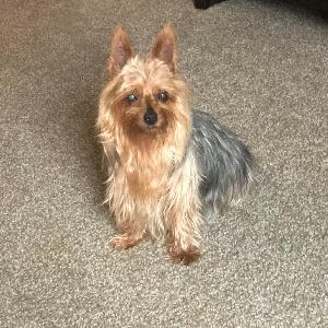 adoptable Dog in Rapid City, SD named Lexie