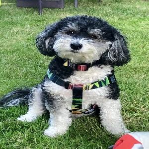 adoptable Dog in Beaverton, OR named Milo