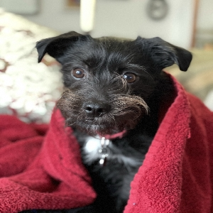 adoptable Dog in Brooklyn, NY named FitzDuncan