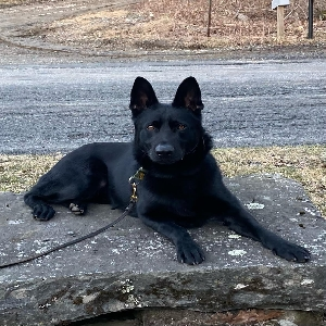 adoptable Dog in Sandisfield, MA named Klaus
