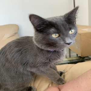 adoptable Cat in Coeur D Alene, ID named Gracie