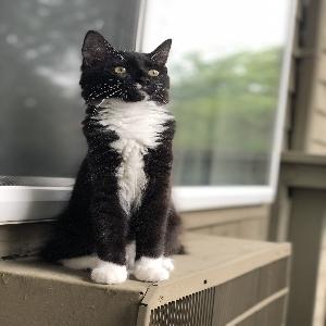 adoptable Cat in Coventry, RI named Avonis