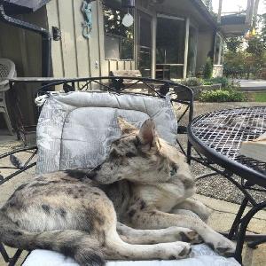 adoptable Dog in Camano Island, WA named Bear