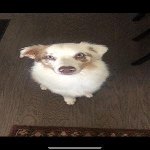 adoptable Dog in Washington, DC named Bentley