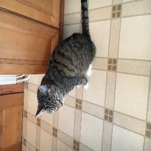 adoptable Cat in Massapequa, NY named Duffy