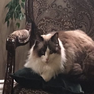 adoptable Cat in Riverton, WY named Tessie