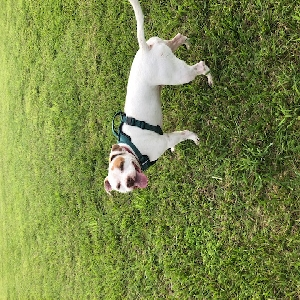 adoptable Dog in Durham, NC named chico