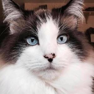 adoptable Cat in Warren, MI named Sheldon