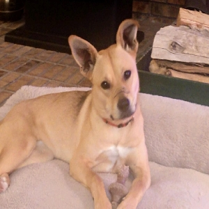 adoptable Dog in Cheyenne, WY named SHILOH