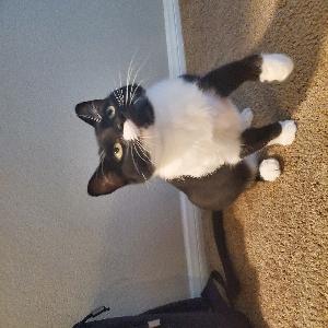 adoptable Cat in Las Vegas, NV named Mung bean