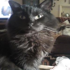 adoptable Cat in Tulsa, OK named Bob