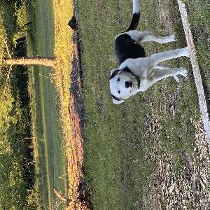 adoptable Dog in Grayling, MI named Roscoe