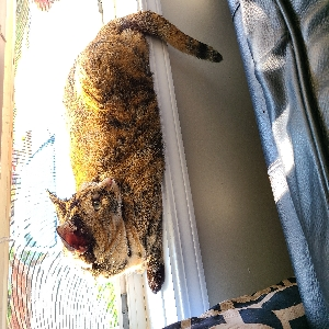 adoptable Cat in Londonderry, NH named Betsy