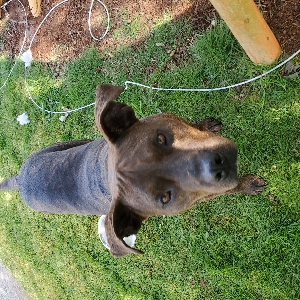 adoptable Dog in Snohomish, WA named Linus