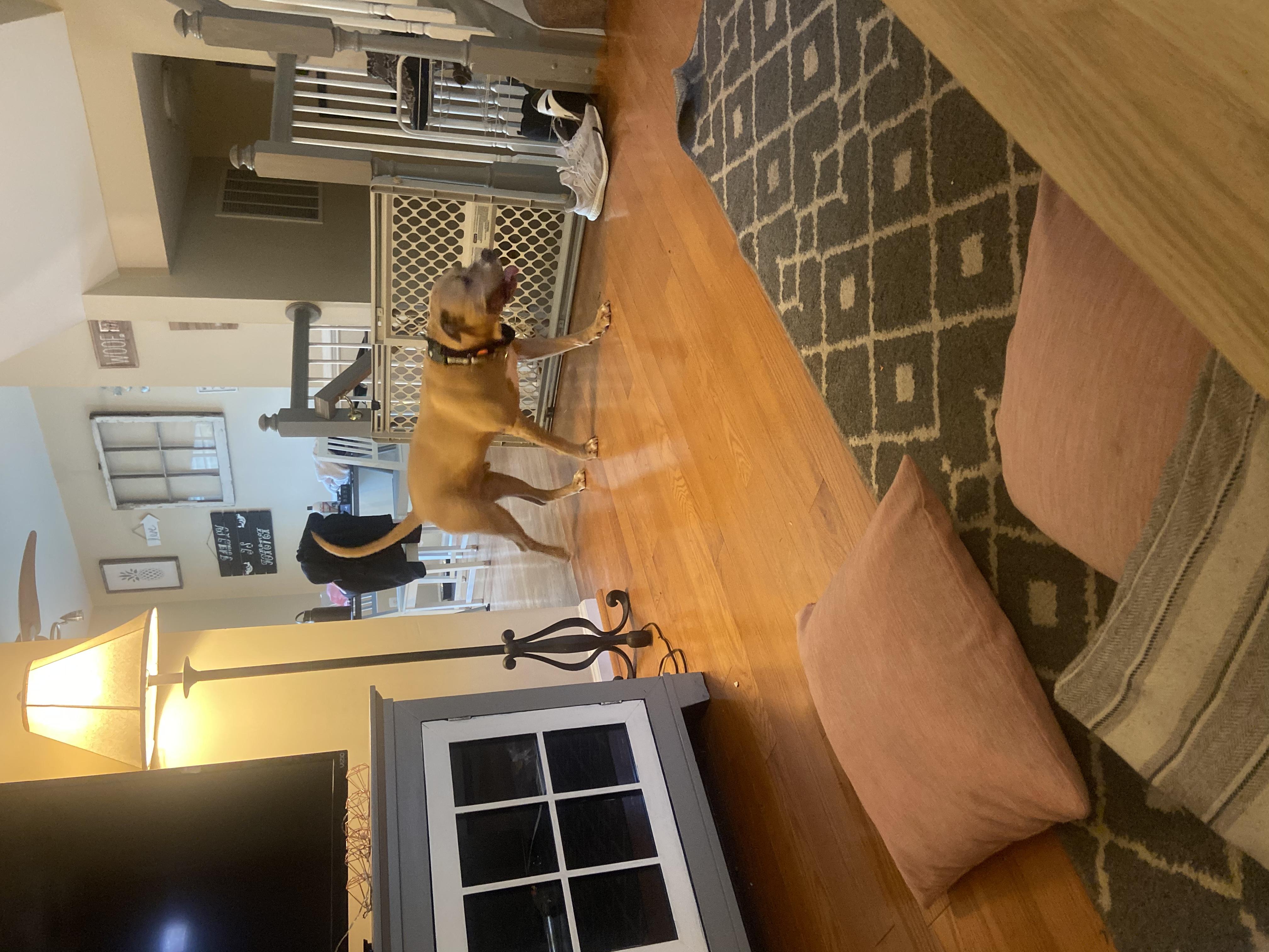 adoptable Dog in Ashburn,VA named Thor