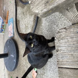 adoptable Cat in Bend, OR named Oakley