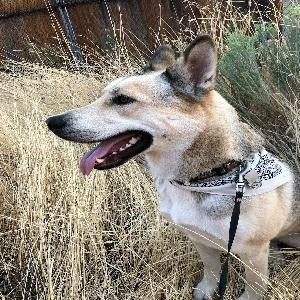 adoptable Dog in Klamath Falls, OR named Bandit