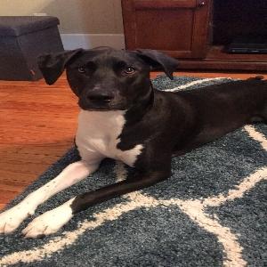 adoptable Dog in Saint Louis, MO named Bentley