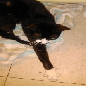adoptable Cat in Saint Augustine, FL named Pepper