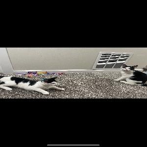 adoptable Cat in Hawthorne, NJ named Oreo