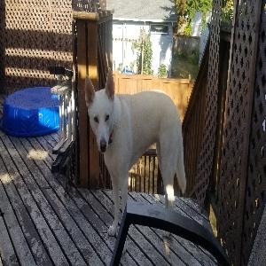 adoptable Dog in Bothell, WA named Kea