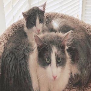 adoptable Cat in West Jordan, UT named Mungojerrie and Rumpleteaser