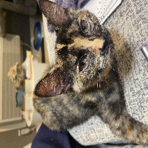 adoptable Cat in Poplar Bluff, MO named MoMo